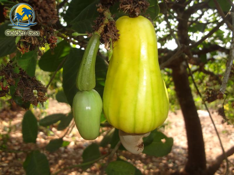 niro cashew juice fruit kaju ros kalam goa