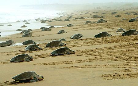 Olive-ridley-sea-turtle-Morjim-Beach-Goa